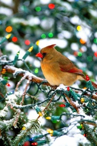 winter wonderland female cardinal christmas lights and snow