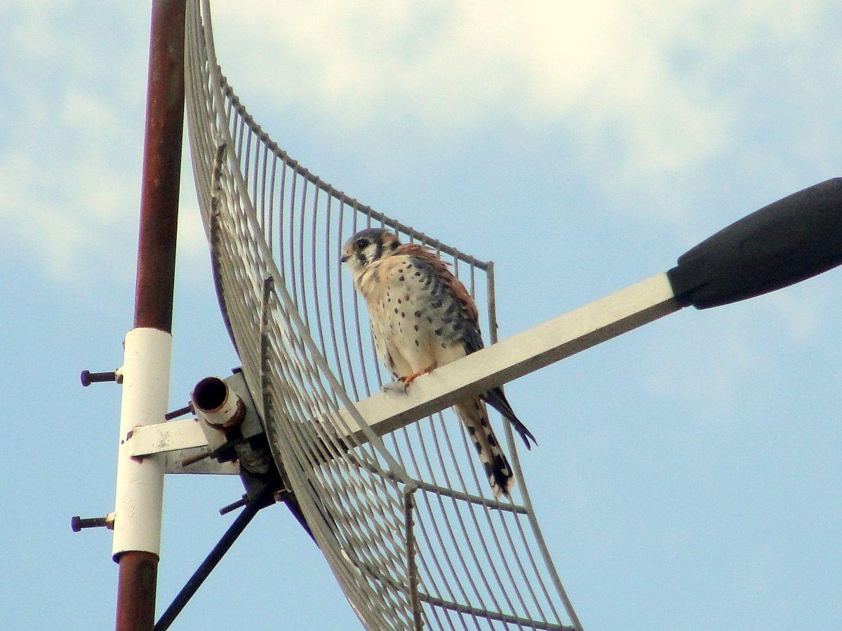 Quiriquiri --{ Birds }--
