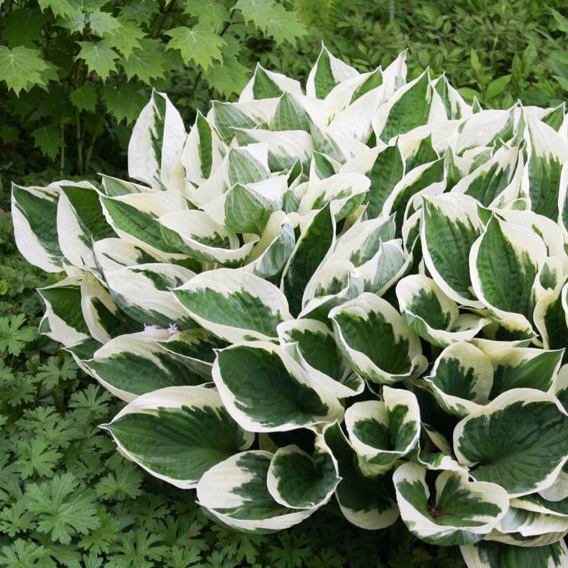 Staudenfoto Zu Hosta Fortunei Patriot Funkie Herzblatt Lilie Hosta Pflanzen Pflanzen Garten Landschaftsbau