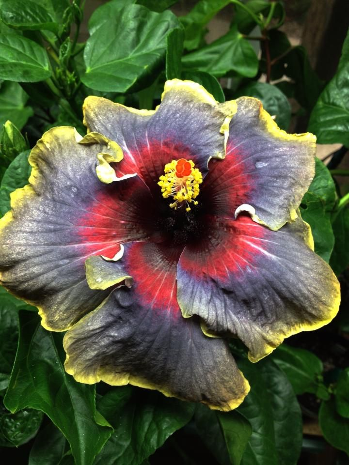 Unusual Colored Hibiscus Hibiscus Plant Hibiscus Tropical Flower Plants