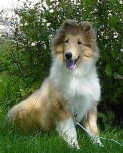 Who Is With Her Co Breeders Lisa Steve Finken Of Tapestry Collies Collie Dog Collie Rough Collie