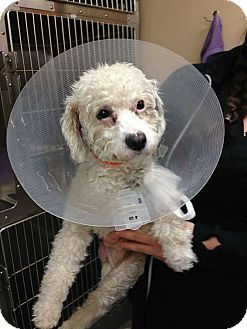 Detroit Mi Poodle Miniature Mix Meet Aarf Wheatley Needs Foster A Dog For Adoption Http Www Adoptapet Com Pet Miniature Poodle Pet Adoption Pets