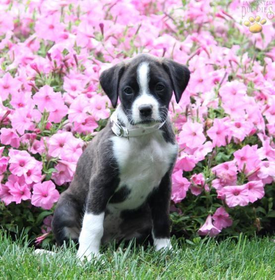 Belle Boxador Puppy For Sale In Ephrata Pa Lancaster Puppies Boxador Puppies Puppies For Sale Boxador Puppies For Sale