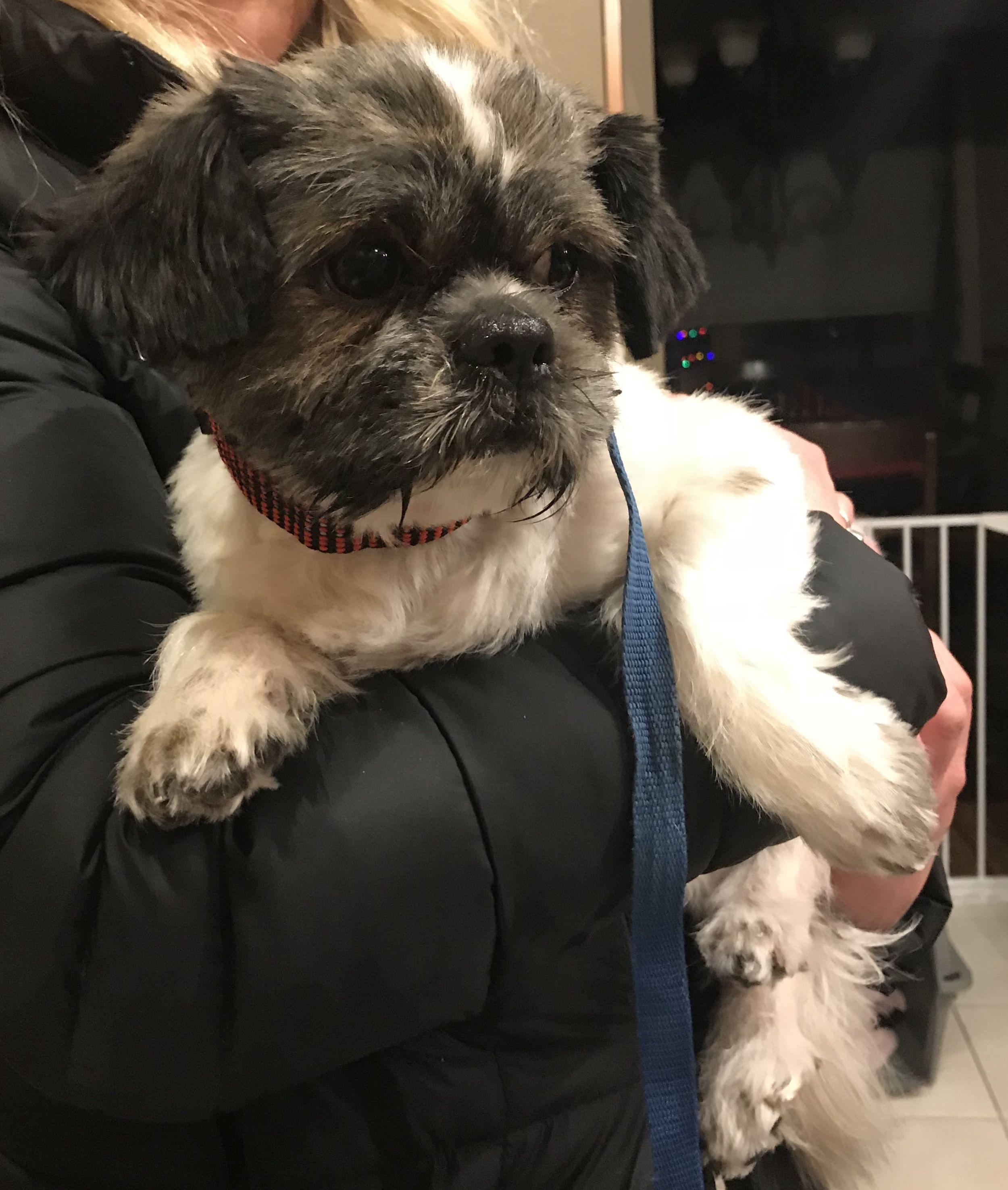 Adopt Lou on Shih tzu, Dogs, Shih tzu mix