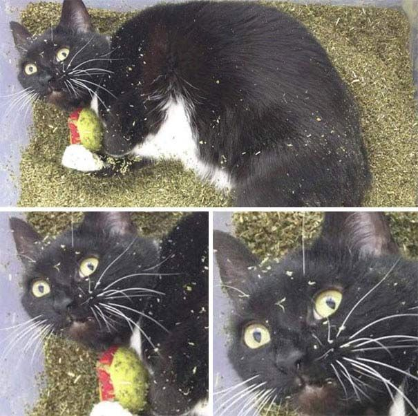 15 Times Cats Found Catnip and Stopped Functioning Cat