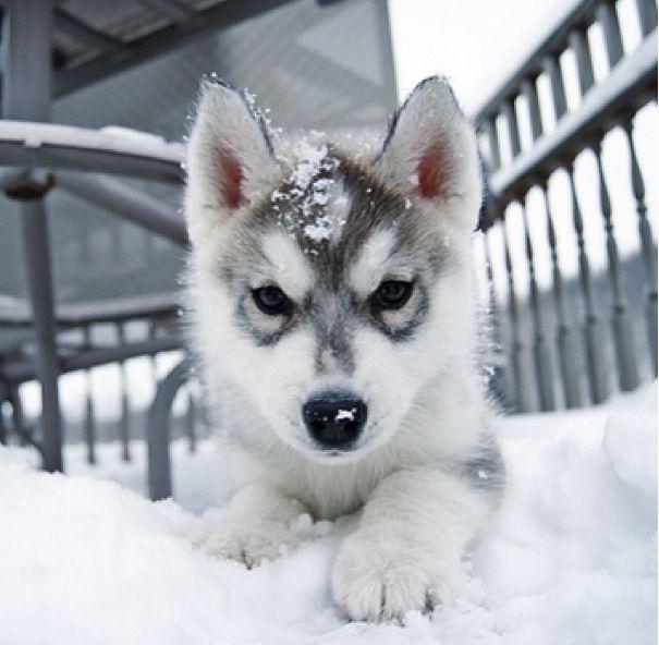 Husky Welpe Im Schnee Puppies Husky Welpen Susseste