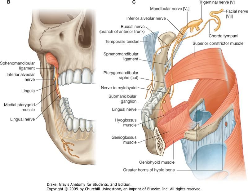 This sensory nerve innervates all lower teeth and much of the ...
