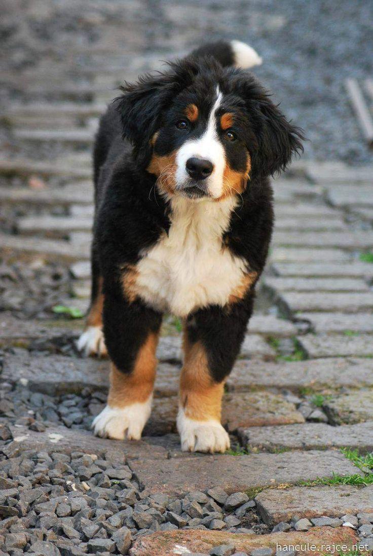 Puppy Bernese Mountain Dog Hunderassen Hunde Hunde Rassen