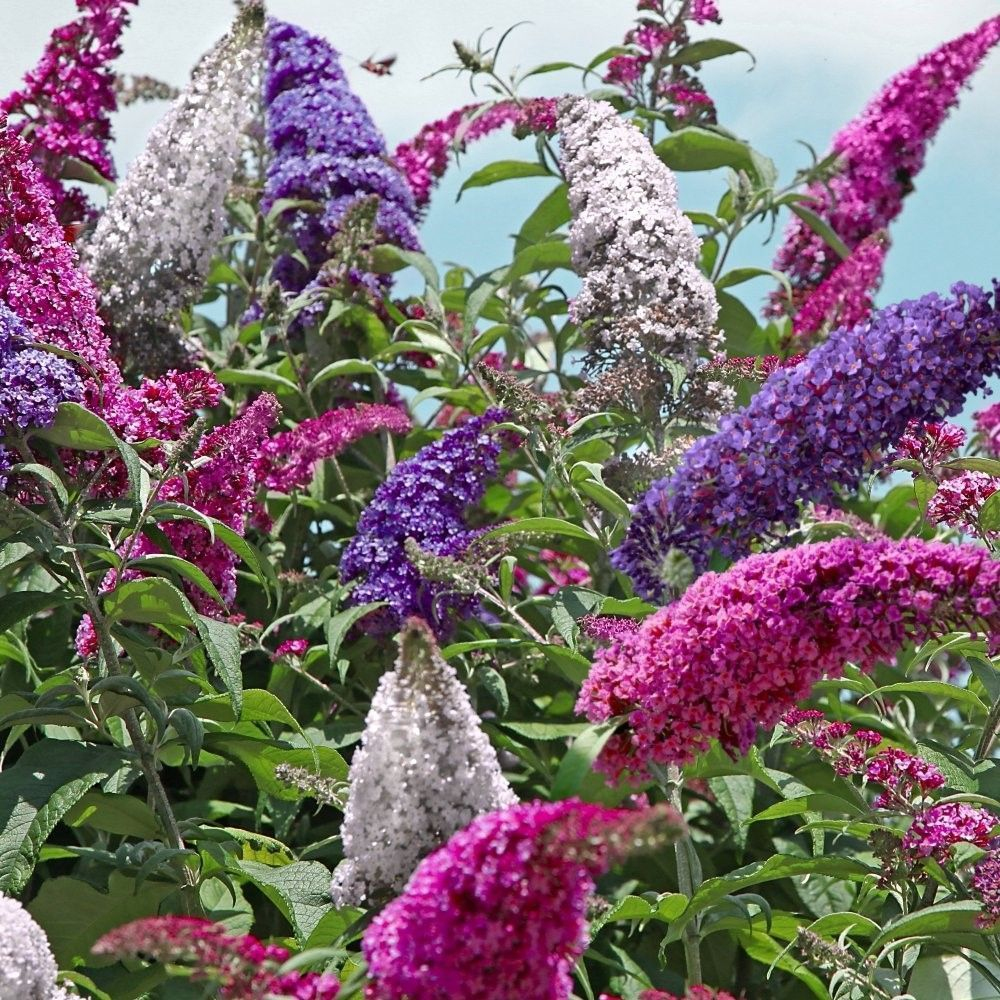 Perfecta Trifecta Butterfly Bush Butterfly Bush Bush Plant Bushes And Shrubs