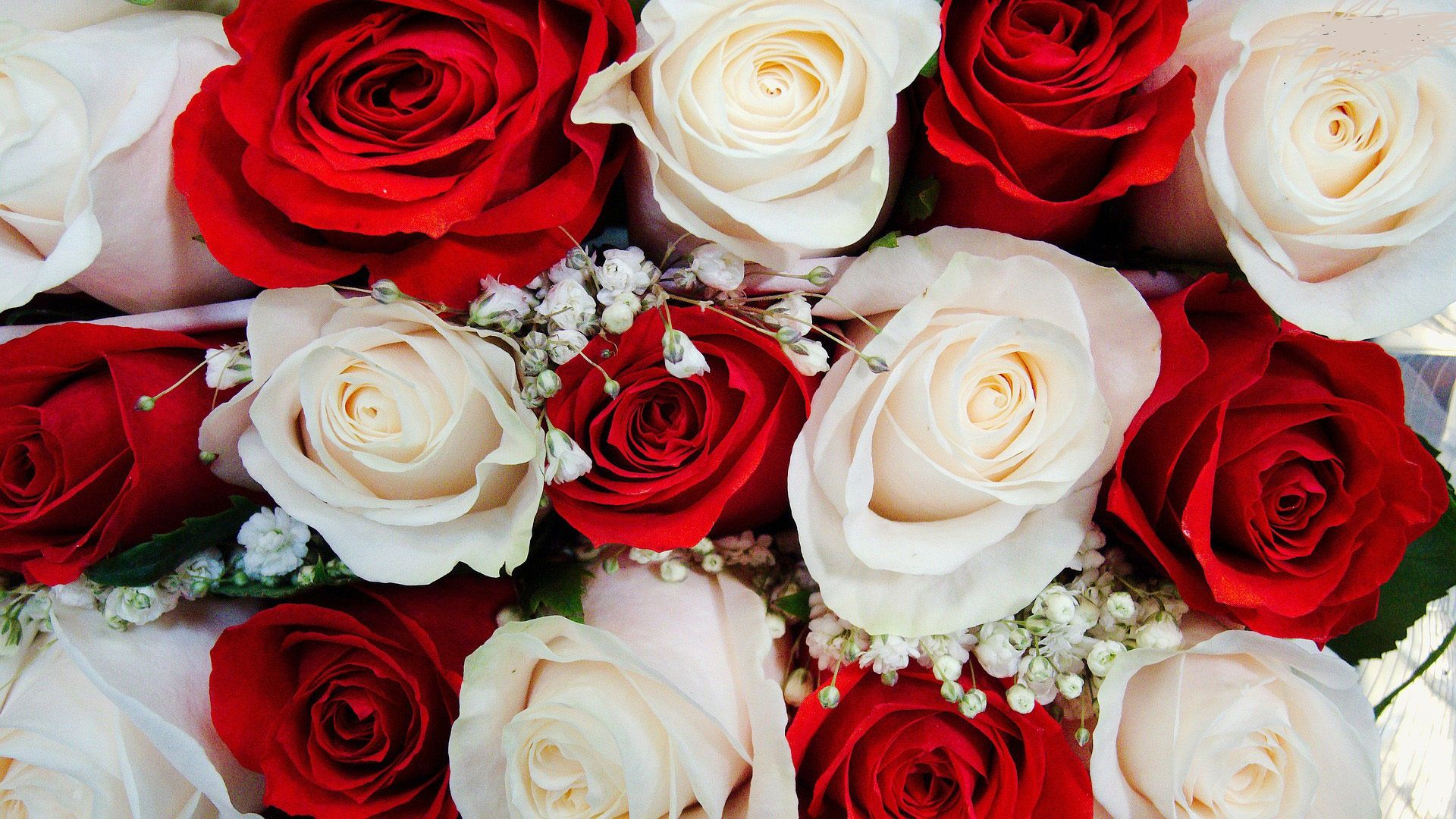Amazing Red White Roses Free Wallpapers Hd White Roses Wallpaper Red And White Roses Red Roses Wallpaper