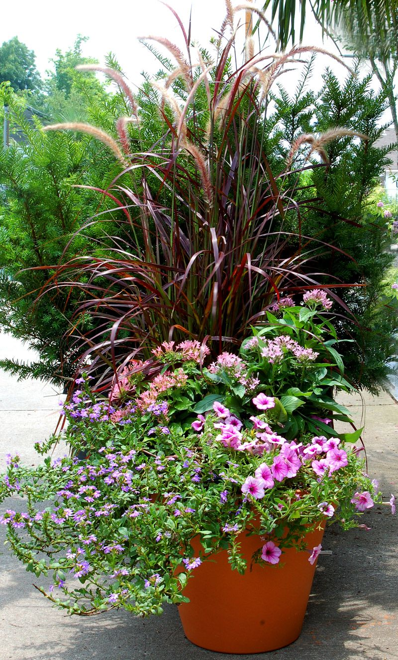 Potted Plants And The Necessary Spring Care: Sun Container Garden (1)Purple Fountain Grass (2)Pentas