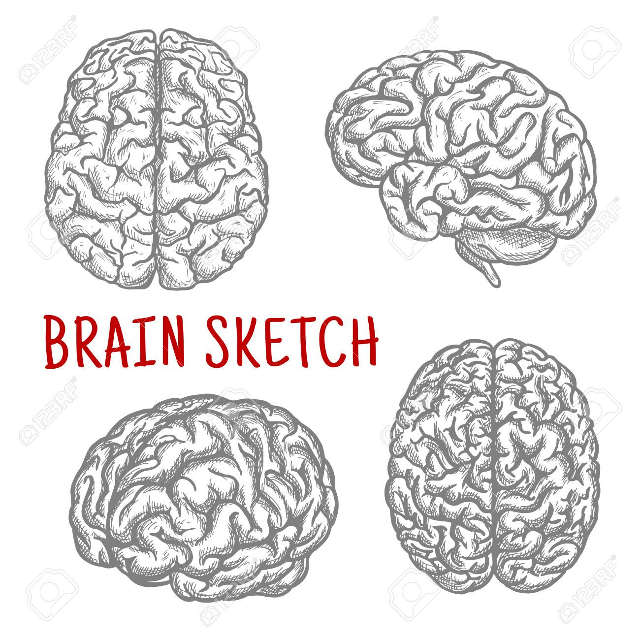 57808097 brain sketch symbols with engraving illustrations of 57808097 brain sketch symbols with engraving illustrations of anatomically detailed human brain at different stock vectorg 13001300 ccuart Choice Image