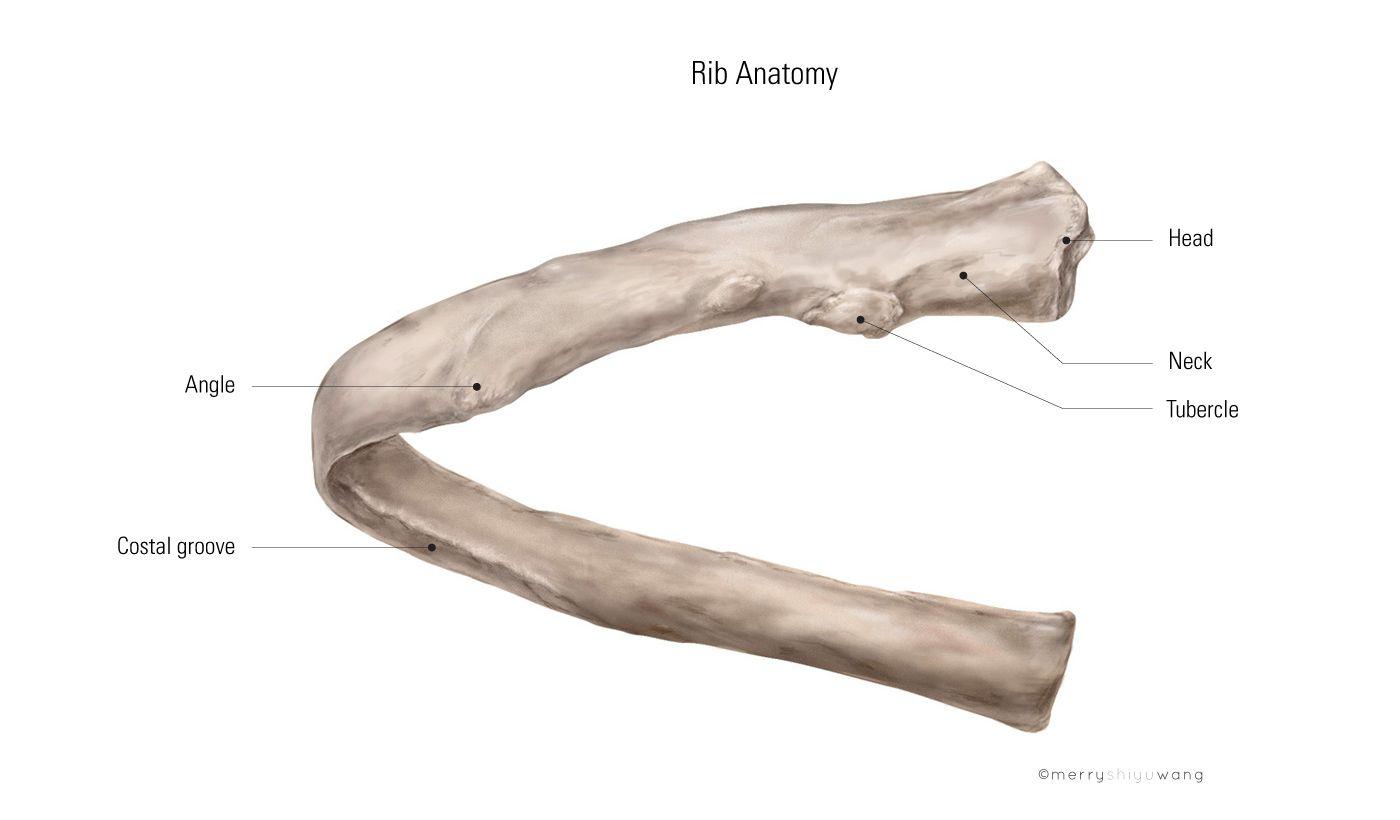 rib anatomy   production > illustrations > rib anatomy   anatomy lab ...