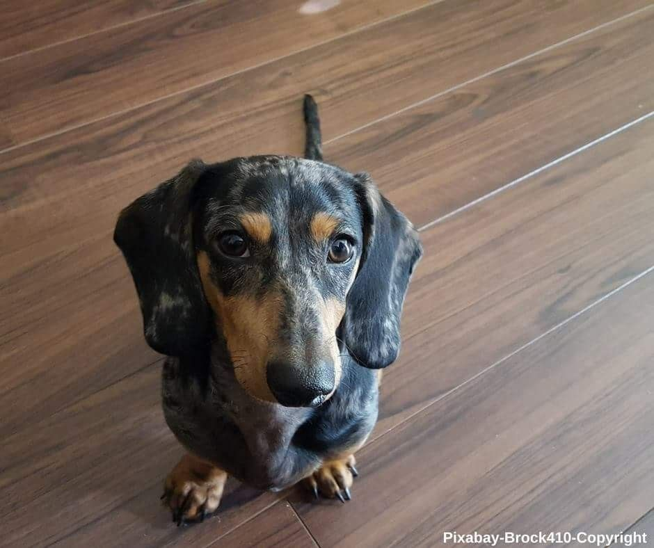 Pin By Shelly Powell On Dachshund Cute Puppies And Kittens