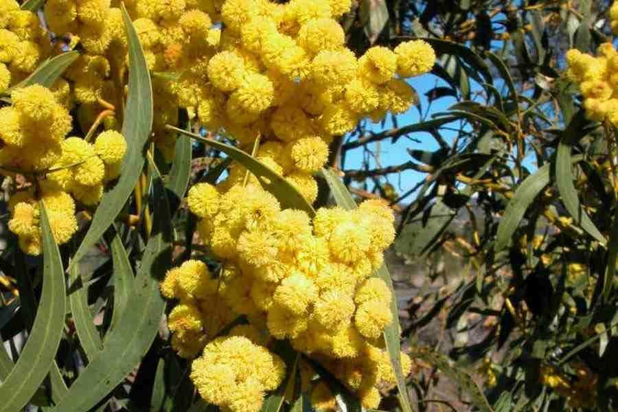 Acacia Pycnantha Drought Resistant Trees Flora Of Australia Seedlings
