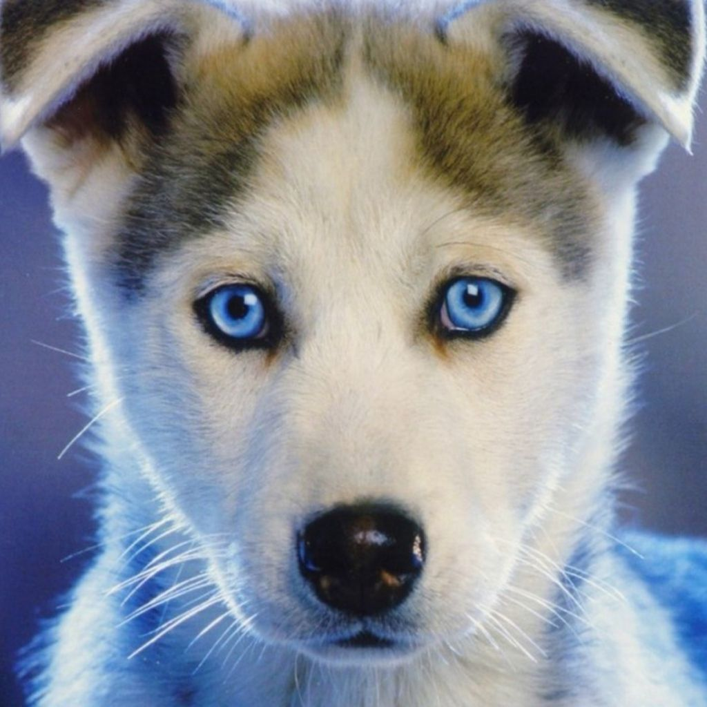 Blue eyed husky puppies pet lovers cute husky puppies