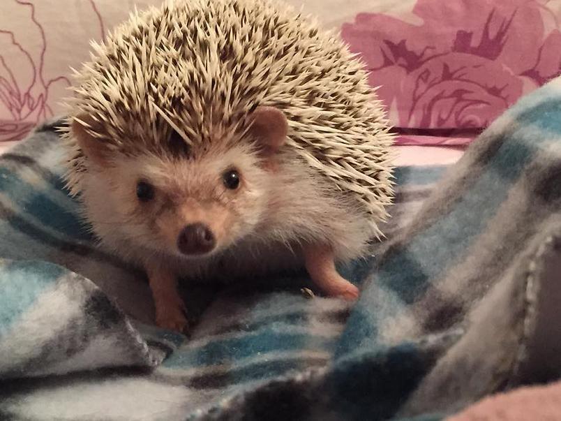 hedgehog | Fotos /