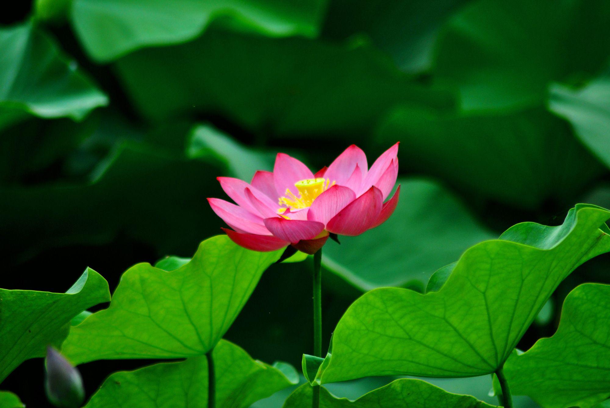 Download Best Lotus Flower Images Httpfreeimagespictures