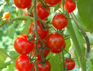 Sweet Million Cherry Tomato Fruit Plants Cherry Tomatoes Seed Shop