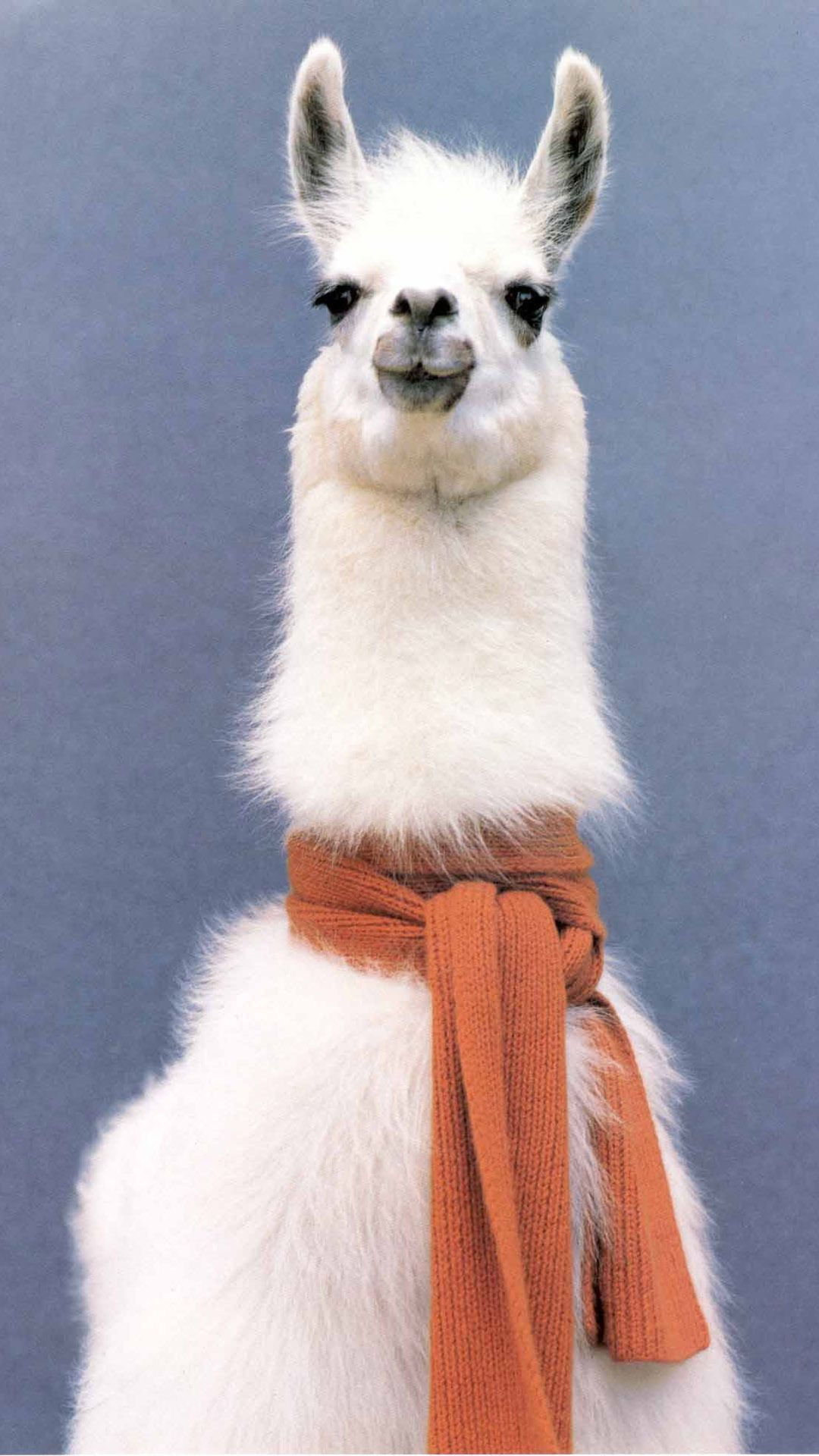 Lama with a scarf Mobile Wallpaper 10158 Lama