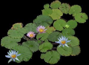 Gify Animacja Obrazki Png Lotos Jardim De Lotus Vegetacao Humanizacao
