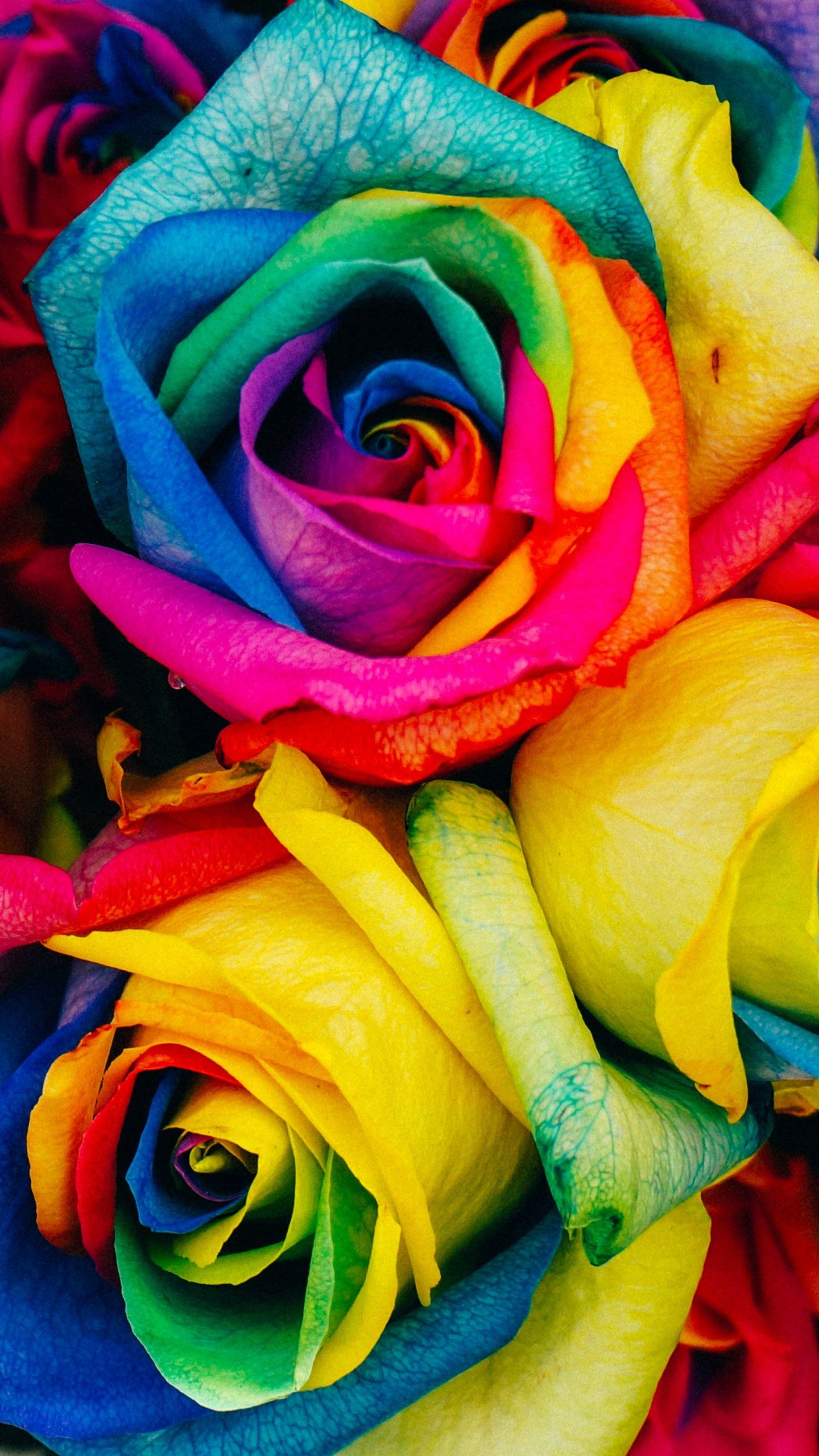 Rainbow Roses Wallpaper Iphone Android Desktop Backgrounds