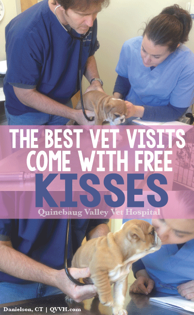 English Bulldog Puppy Kisses During A Veterinary Exam The Vets