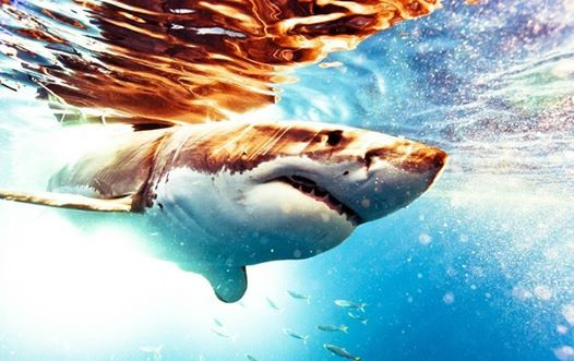 http://www.news-journalonline.com/article/20140110/NEWS/140119948?Title=Great-white-shark-lingers-off-Daytona-Beach-coastline