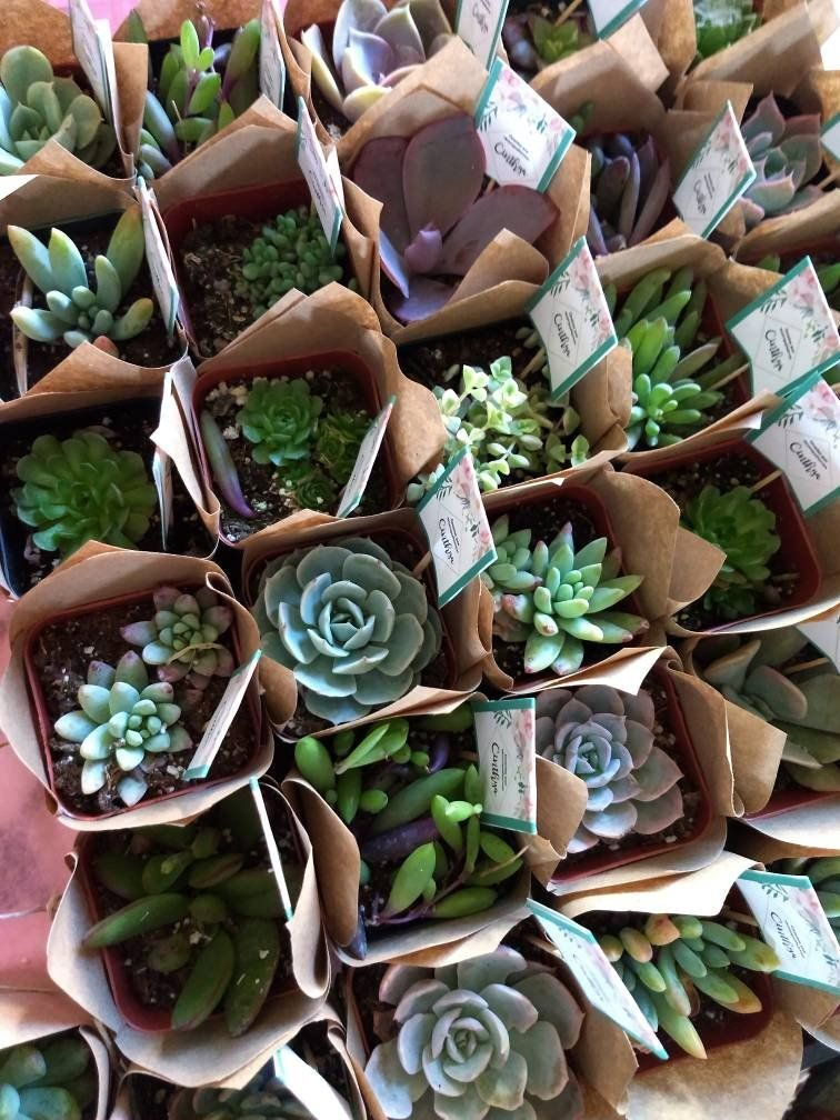 Mini succulent favor 50 Succulent's 2 for wedding Etsy