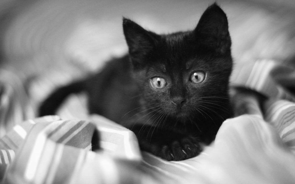 Black Cat Appreciation Day August17th Cute Kittens Cats Black Cat Appreciation Day Black Kitten Black Cat