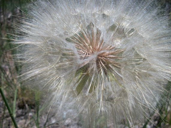 The smart Trick of What Is Dandelion Seeds Good For That Nobody is Discussing