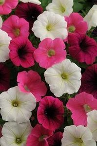 Pin By Pase Seeds On Petunias Petunias Shock Wave Seeds For Sale
