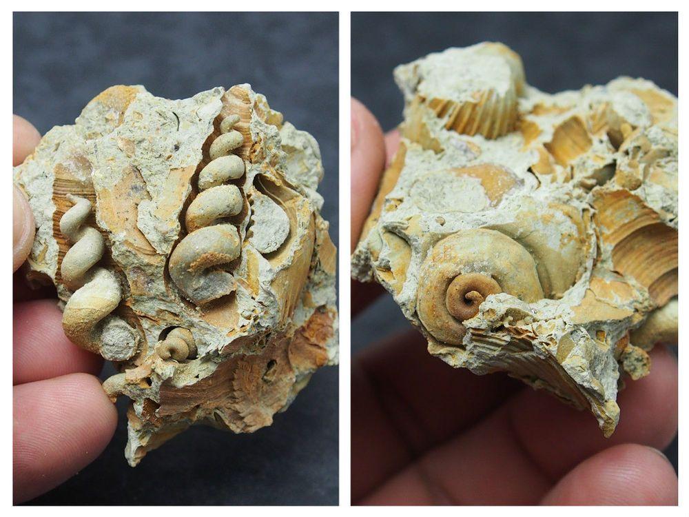 Details about GASTROPOD Turritella turris Fossils Miocene Mollusk