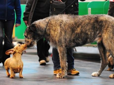 In Pictures Crufts 2013 Dog Show Irish Wolfhound Dogs