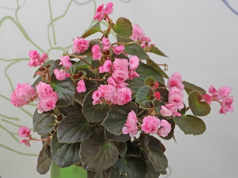 Begonia Doublet Rose Begonia Beautiful Flowers Floral Wreath