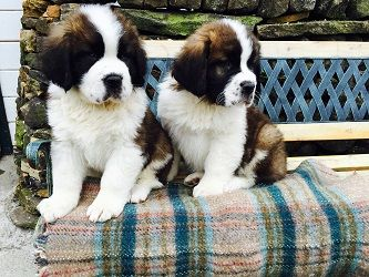Pedigree Puppies For Sale In Lancashire Dogs Puppies For Sale