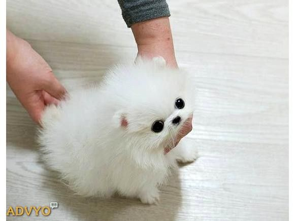 Pomeranian Puppies Ready Available These Puppies Have Excellent
