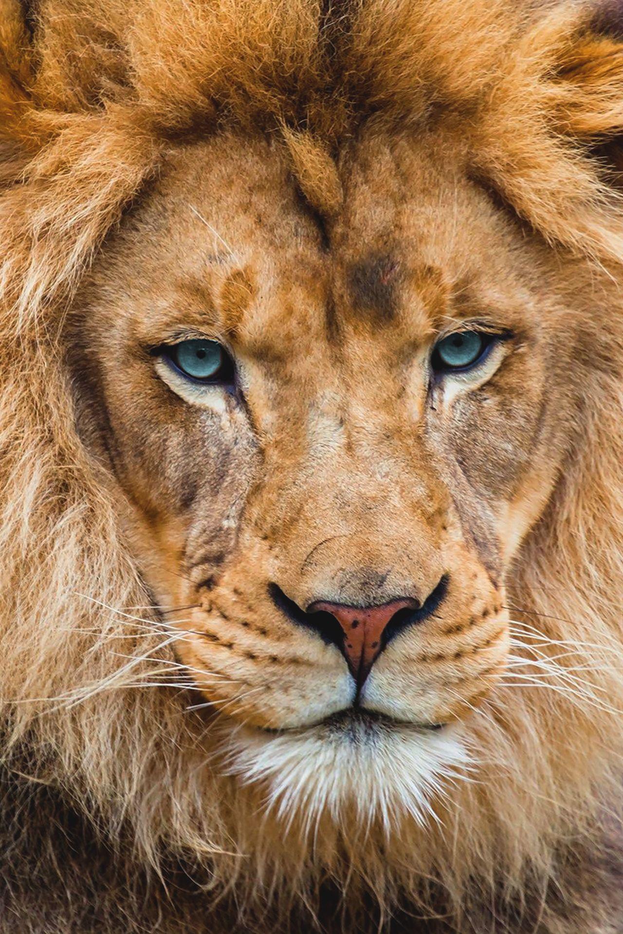 "souhailbog: ""Lion By Sergey Bidun | More"""