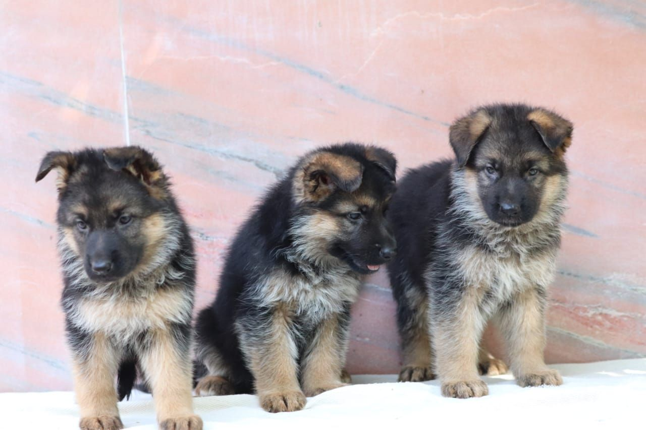 German Shepherd Dog Price Buy Healthy German Shepherd Puppies For
