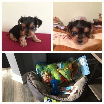 Yorkshire Terrier puppy for sale in LEICESTER, NC. ADN