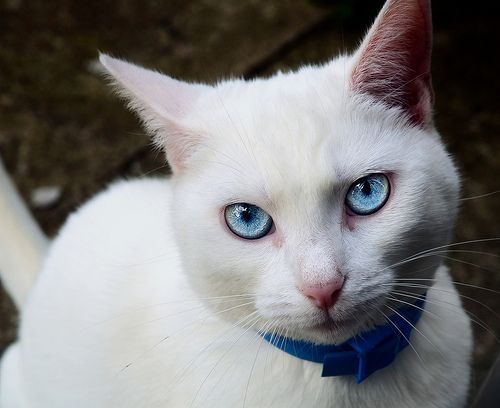 White Cats With Blue Eyes Are Usually Deaf Cat With Blue Eyes White Cats Baby Black Cat