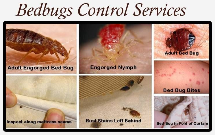 For Bedbugs Control Services Termite Control Termite Treatment