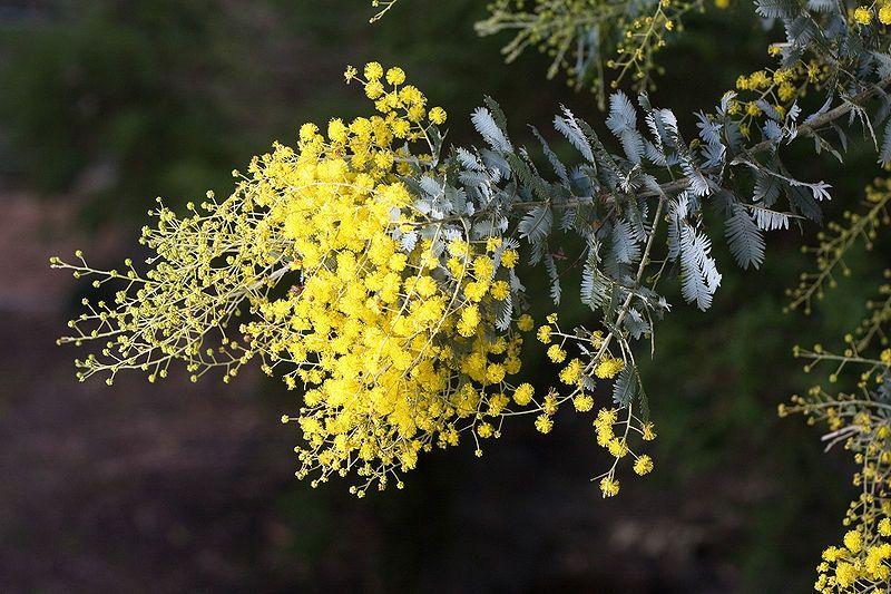 Acacia Dealbata Subalpinasilver Wattle To 5m Other Subspecies
