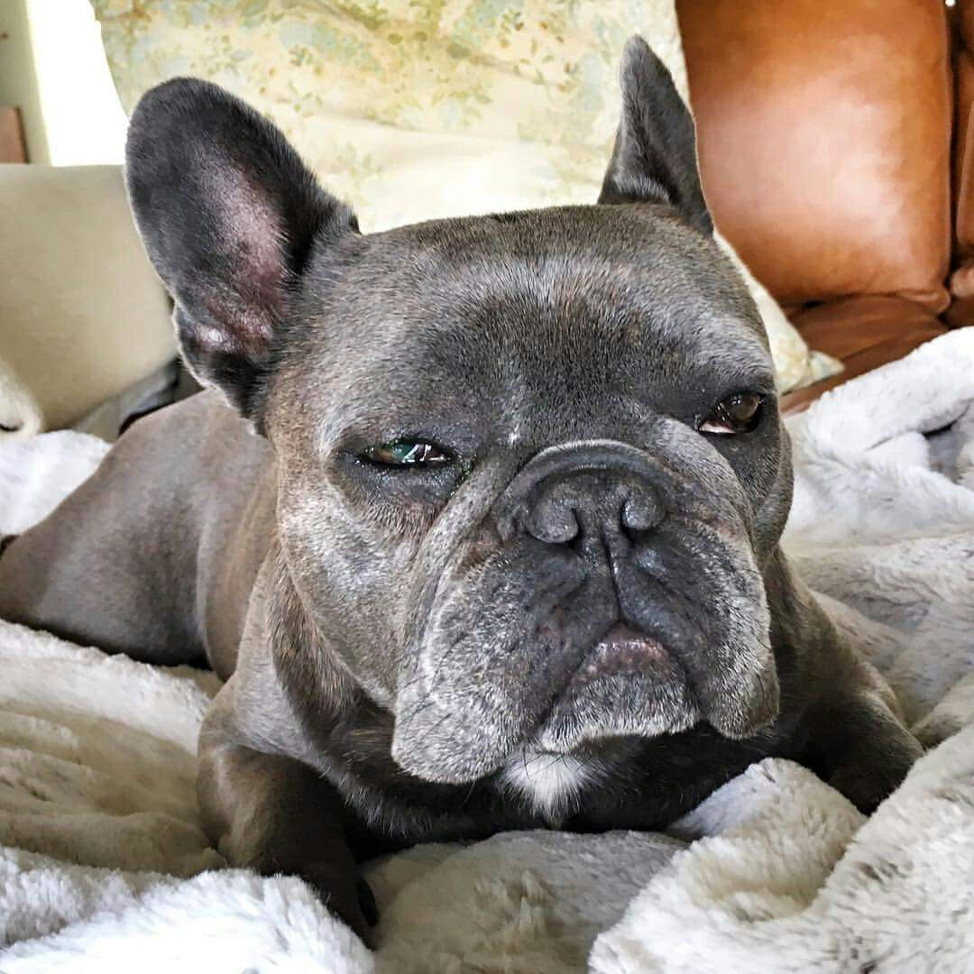 Chicken the french bulldog is giving you classic