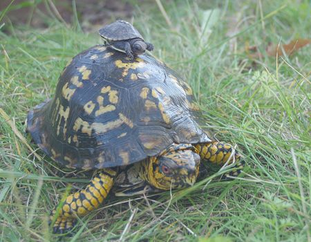 Box Turtles. Turtles Pinterest