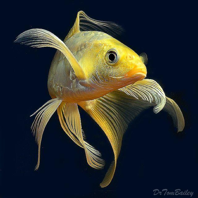 Butterfly koi fish paint pinterest fische for Japanischer kampffisch