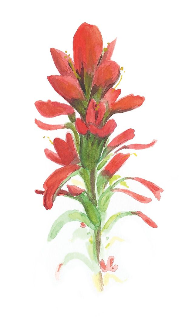 Indian Paintbrush Watercolor Painting Google Search Indian