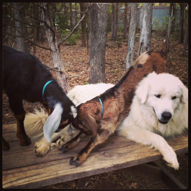 Herding Dogs, Dogs, Animals