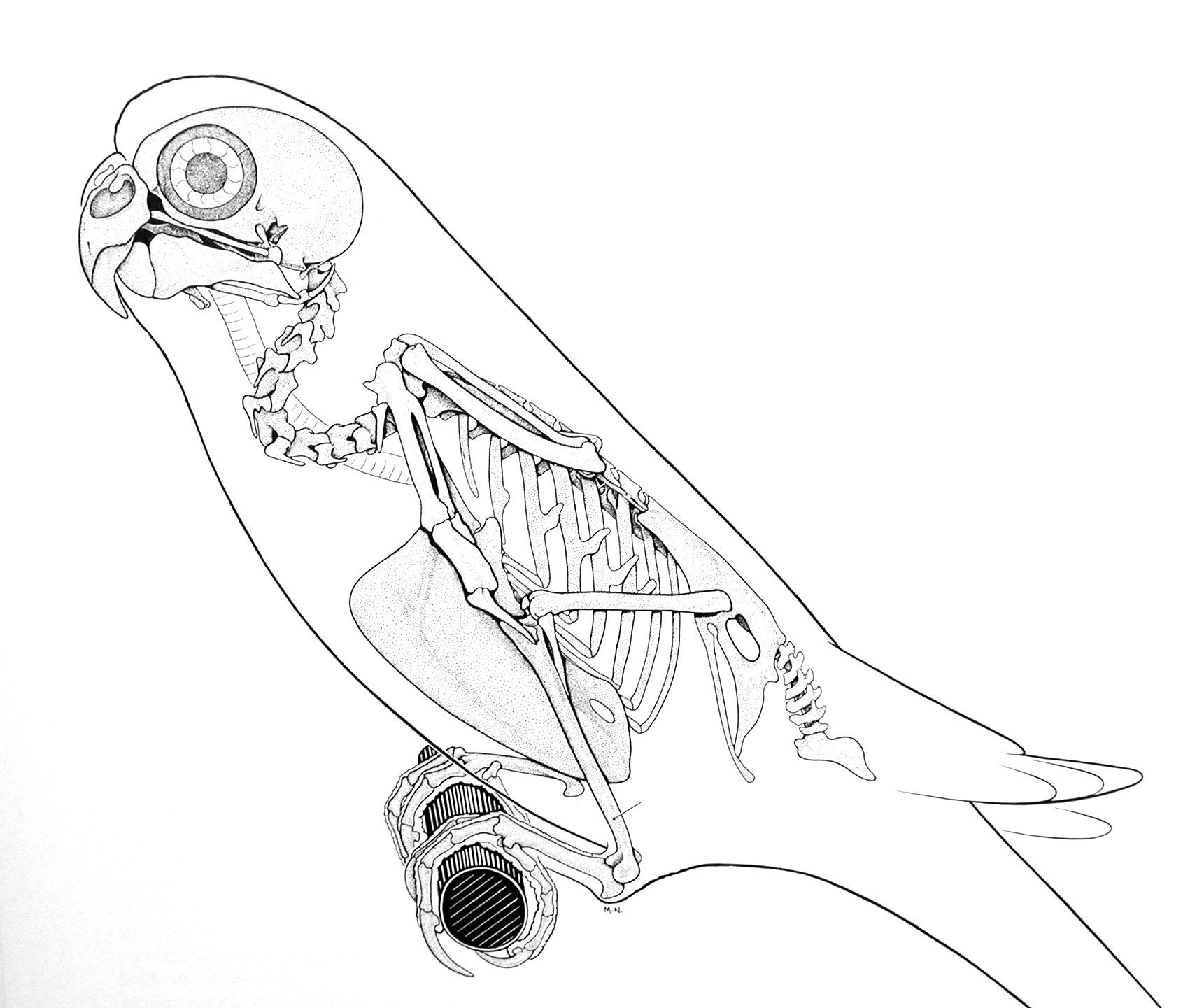 animal skeleton images | in most of the smaller birds like this ...