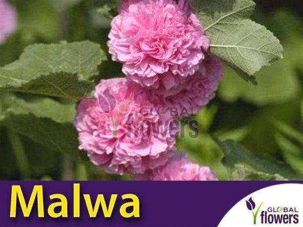 Malwa Pelna Alcea Rosea Bright Pink Cebulka Pelne Rozowe Kwiaty Malwy Flowers Plants Plumeria
